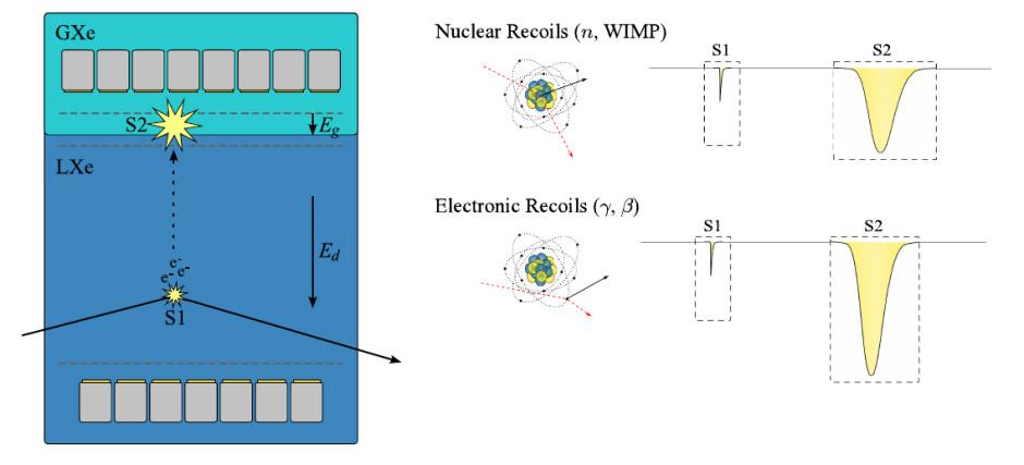 Figura 3: Principio di funzionamento di una TPC due-fasi a xenon liquido. Una particella genera luce primaria di scintillazione (S1) ed elettroni di ionizzazione. Questi ultimi sono trascinati dal campo elettrico (Ed) e rivelati attraverso luce secondaria di scintillazione nella fase gassosa (S2). La distribuzione di S2 (xy) e la velocità di trascinamento (z) danno informazioni complete sulla posizione dell'evento. In aggiunta, il rapporto S2/S1 permette la discriminazione tra interazioni nucleari (WIMPs, neutroni) e interazioni elettroniche (γ, β).